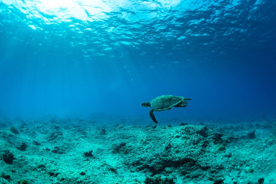 A sea turtle swims in the blue waters of The Maldives.